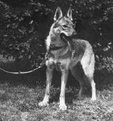 Storia del cane lupo di saarloos